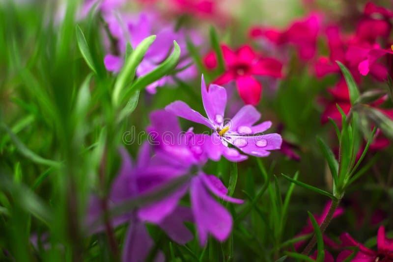 Розовые и фиолетовые цветки на конце-вверх зеленой травы стоковые изображения