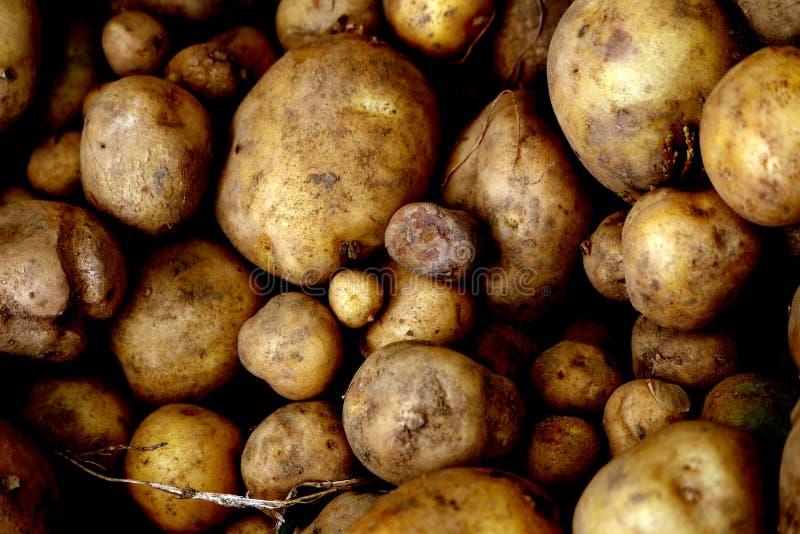Розовые картошки Яблока Финна стоковые изображения rf