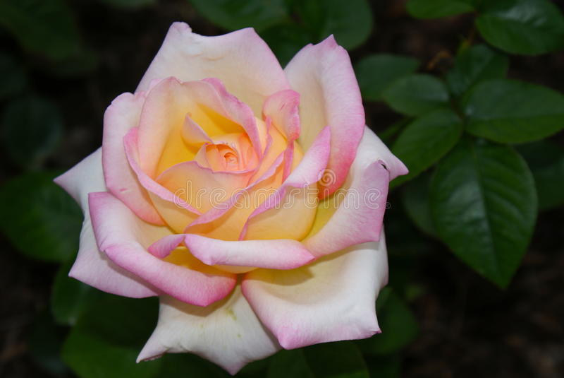 Розовые края стоковая фотография