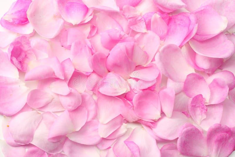 розовые лепестки розы изолированные на белой предпосылке r стоковые изображения