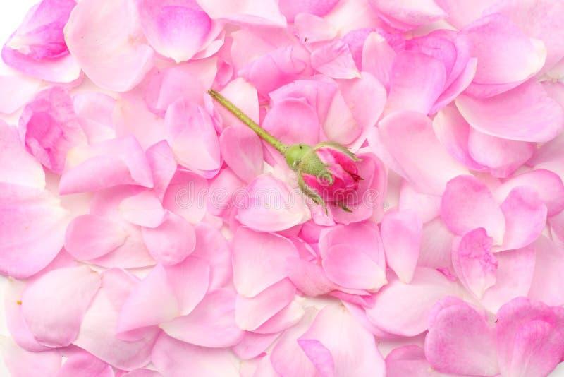 розовые лепестки розы изолированные на белой предпосылке r стоковое изображение rf