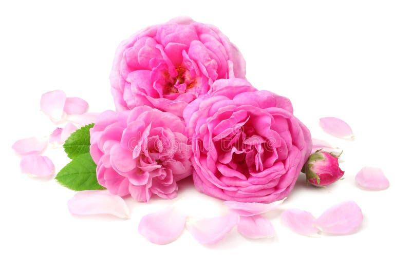 розовые лепестки розы с розовой розовой головой цветка изолированной на белой предпосылке стоковая фотография rf