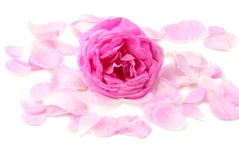 розовые лепестки розы с розовой розовой головой цветка изолированной на белой предпосылке стоковая фотография
