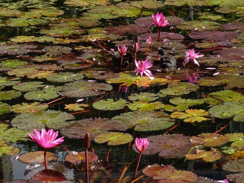 Розовые лилии воды стоковые изображения