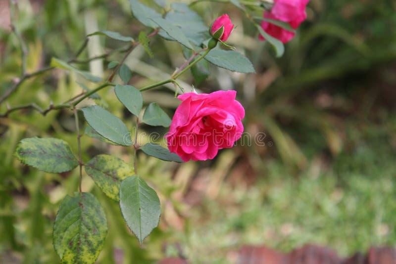 Розовые листья цветка и зеленого цвета стоковое изображение
