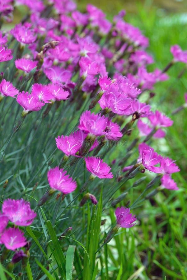 Розовые маленькие цветки завода гвоздики сада Дизайн Lanshaft Цветки для высокогорных скольжений Гвоздика сада красивое и стоковое изображение