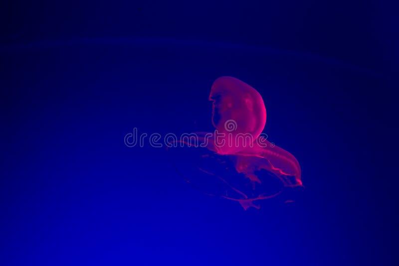 Розовые медузы стоковые фотографии rf