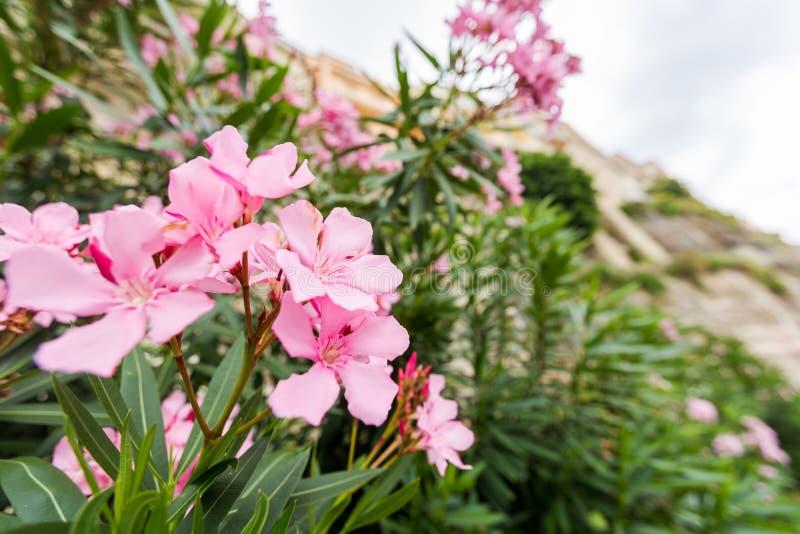 Розовые олеандр или цветок Nerium стоковое изображение rf