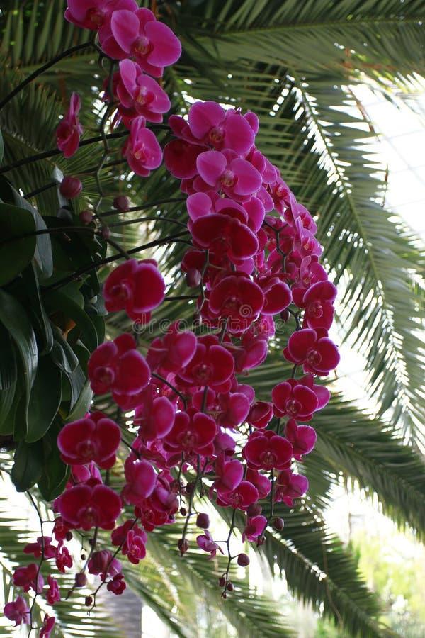 Розовые орхидеи стоковая фотография rf