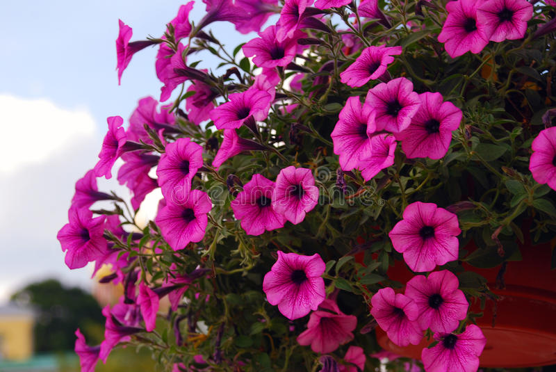 Розовые патефон-цветки стоковые изображения rf