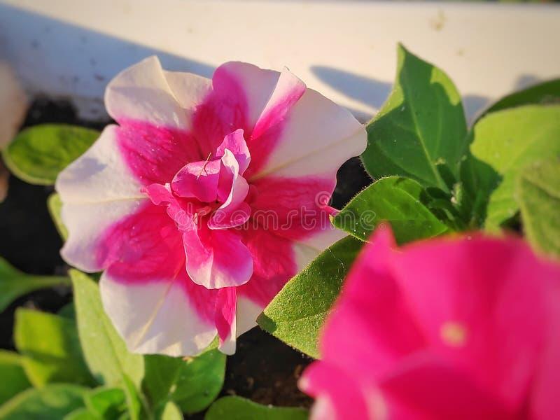 Розовые петуньи в саде стоковые изображения rf