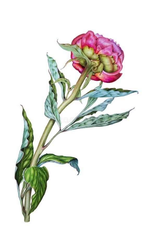 Розовые пионы, ботаническая иллюстрация акварели бесплатная иллюстрация