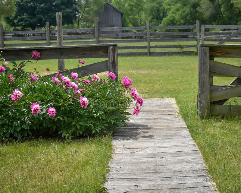 Розовые пионы зацветая деревянной загородкой стоковое изображение