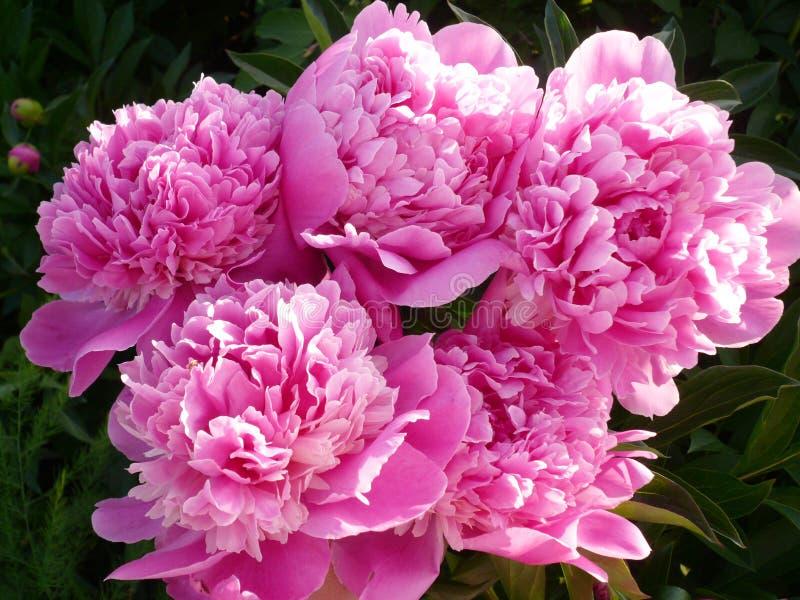 Розовые пионы стоковая фотография