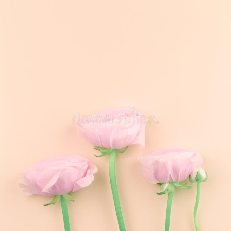 Розовые покрашенные цветки пиона или лютика на персике стоковые фото
