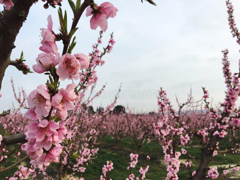 Розовые поля стоковое фото rf