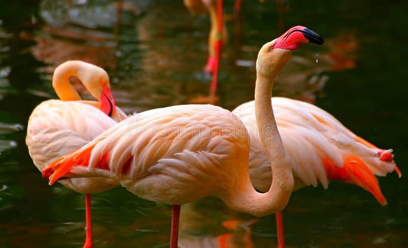 Розовые птицы фламинго стоковые изображения rf