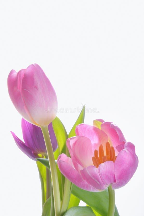 розовые пурпуровые тюльпаны стоковое фото rf