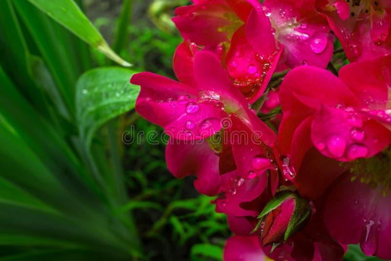 Розовые розы в росе утра стоковое изображение rf