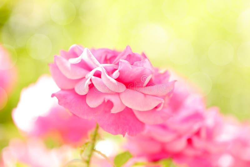 Розовые розы в саде стоковая фотография
