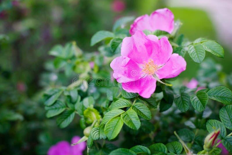 розовые розы одичалые стоковое изображение