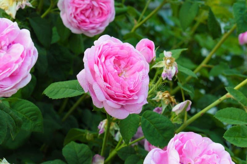 Розовые розы сада, розы розового чая на зеленой предпосылке Флористическая предпосылка, copyspace стоковая фотография rf