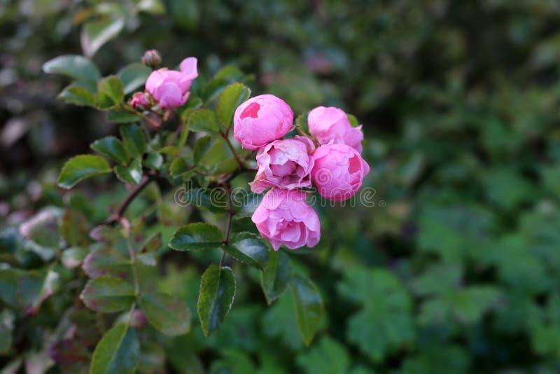 Розовые розы с мягкой предпосылкой Bokeh, сфотографированной в Финляндии стоковое изображение rf