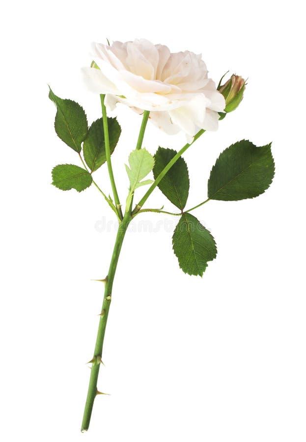 розовые розы стоковые изображения