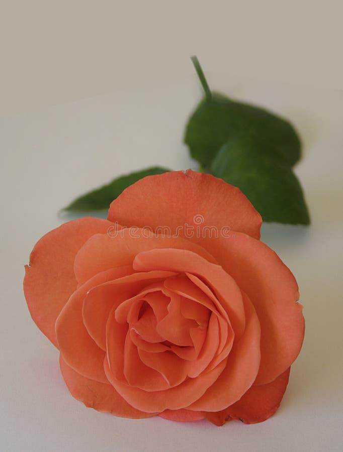розовые семги стоковые изображения