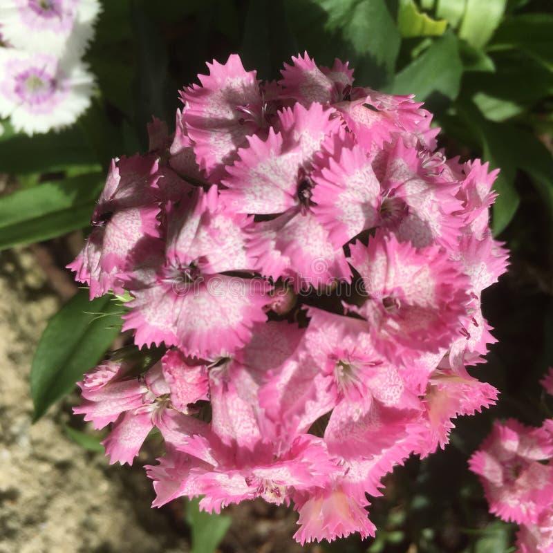 розовые сладостные цветки Williams стоковое изображение rf
