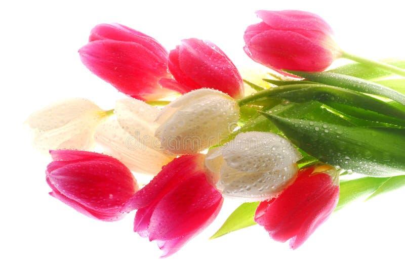 розовые тюльпаны белые стоковые изображения rf