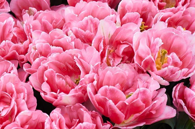Розовые тюльпаны весной в центре Амстердама, Голландии, Нидерландов стоковые фотографии rf