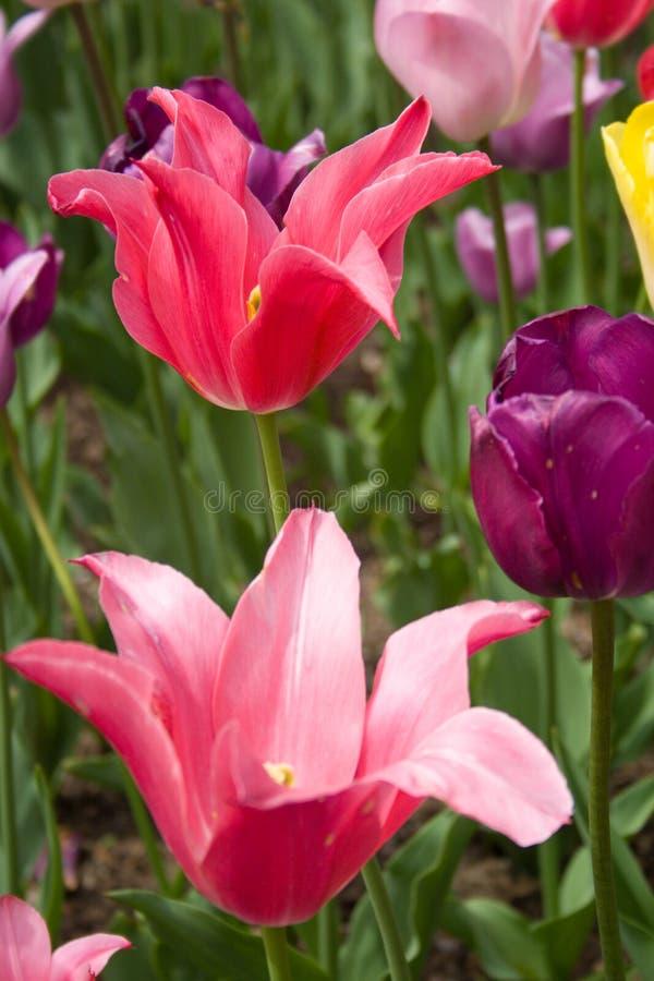 Розовые тюльпаны в саде стоковые изображения rf