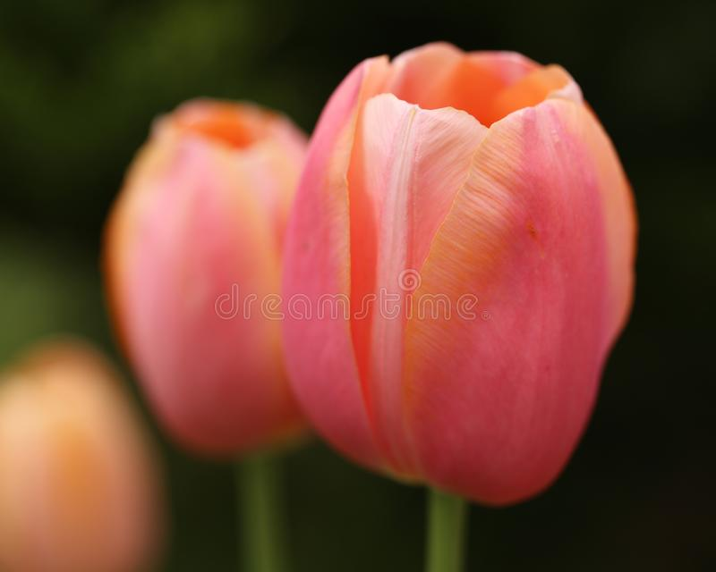 Розовые тюльпаны, закрывают вверх по взгляду стоковые изображения