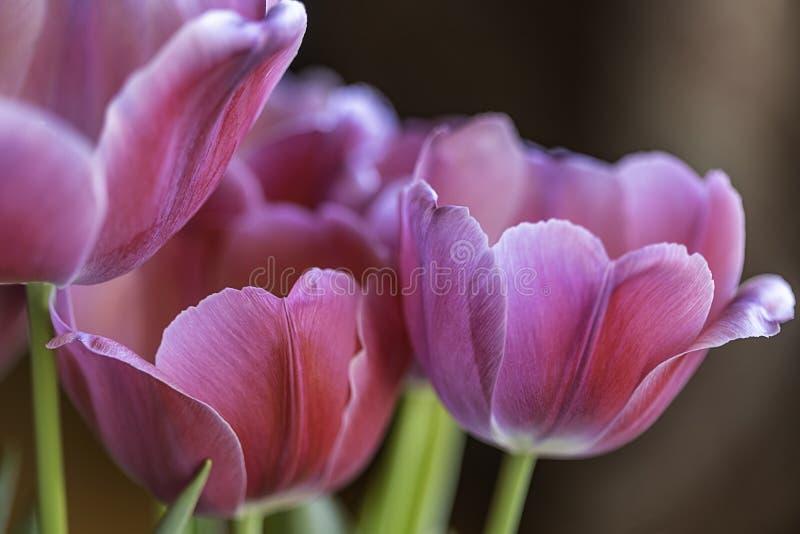 Розовые тюльпаны против коричневой предпосылки стоковое изображение rf