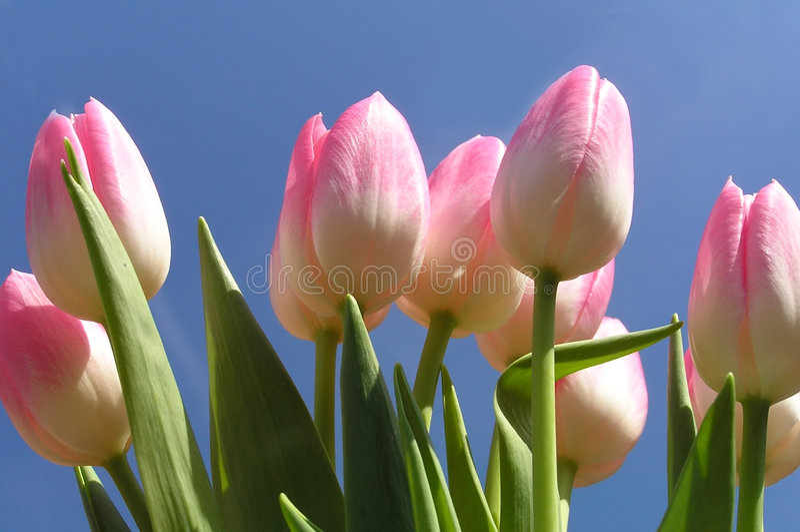 розовые тюльпаны стоковые изображения rf