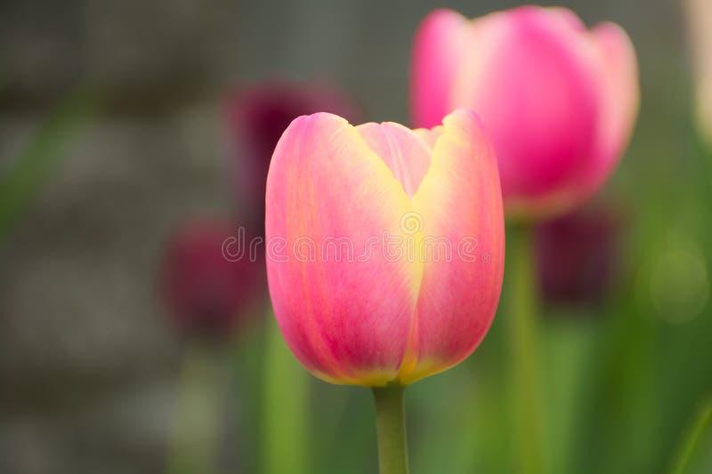 Розовые тюльпаны в саде стоковая фотография rf