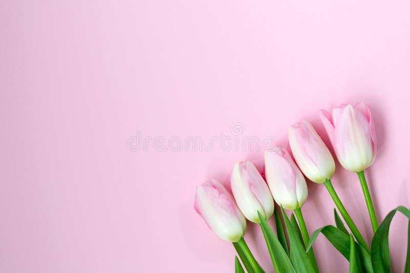 Розовые тюльпаны на розовой предпосылке Плоское положение, взгляд сверху по мере того как предпосылка может valentines используем стоковое изображение rf