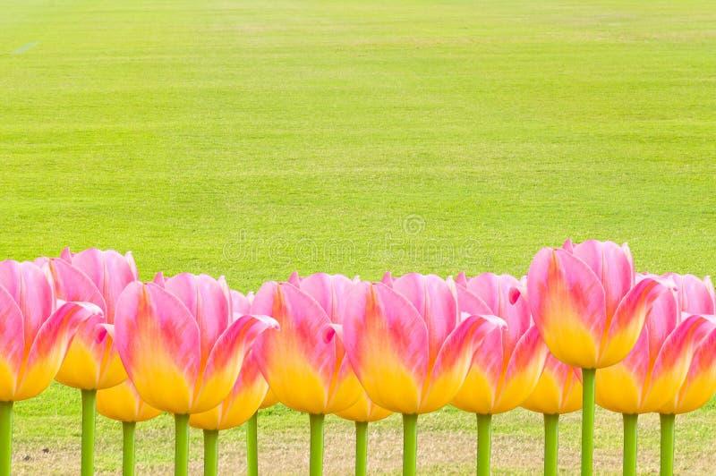 Розовые тюльпаны, свежие тюльпаны весны цветут с космосом для текста стоковые фото