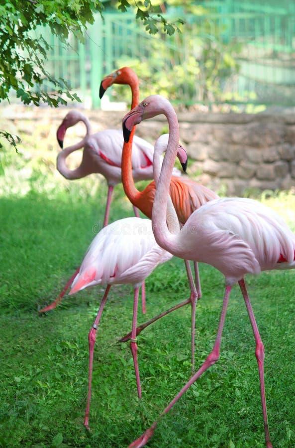 Розовые фламинго идя в сад стоковые фотографии rf
