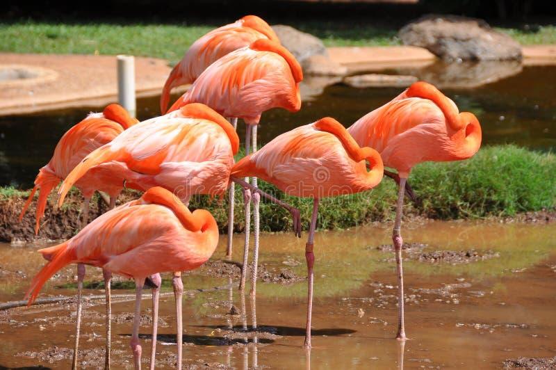 Розовые фламинго изумляют с их элегантностью, легковесностью, красотой стоковое изображение