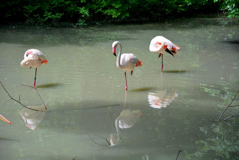 Розовые фламинго на woter стоковое фото