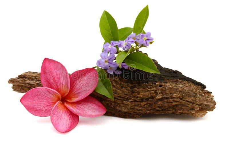 Розовые франгипани или плумерия тропические цветы с зелеными листьями стоковые изображения