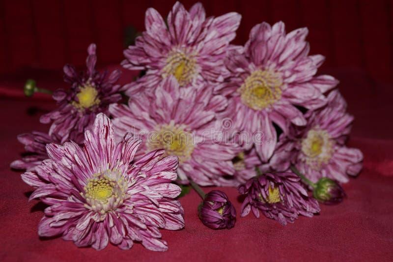 Розовые хризантемы стоковое изображение rf
