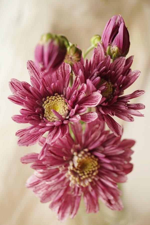 Розовые хризантемы стоковая фотография