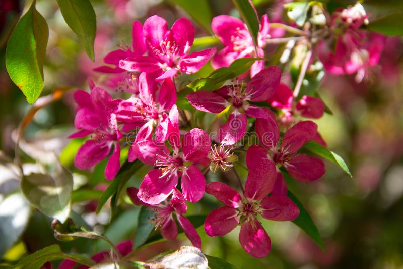Розовые цветения краб-яблока на ветви дерева на весне стоковые фотографии rf