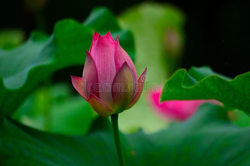 Розовые цветения лотоса стоковые изображения