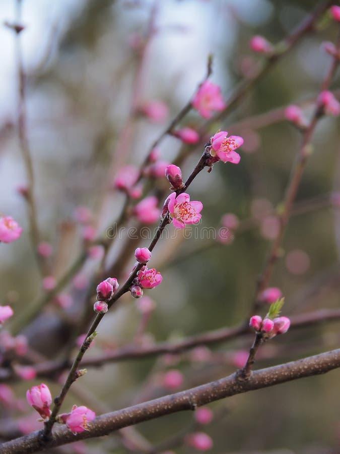 Розовые цветения персика стоковые изображения