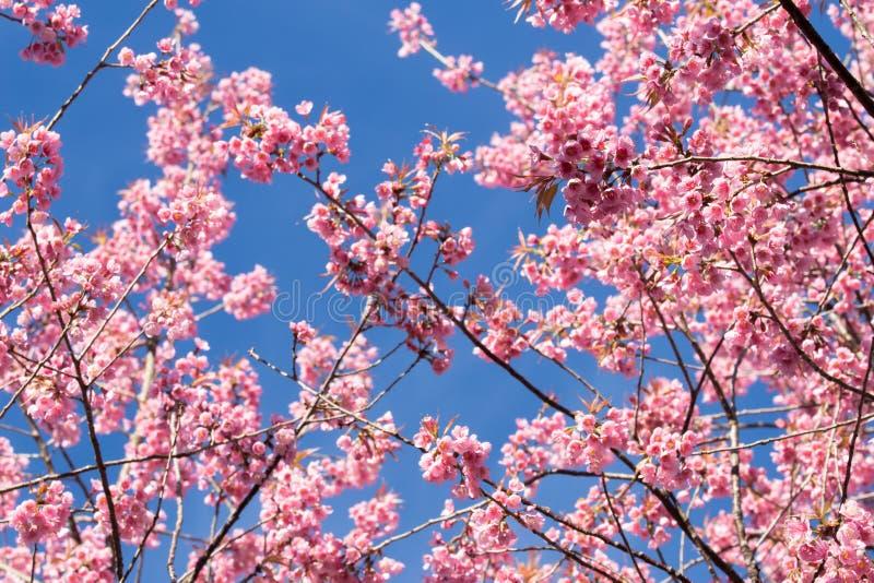 Розовые цветения Сакуры в Таиланде стоковые изображения rf