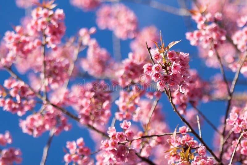 Розовые цветения Сакуры в Таиланде стоковые фото